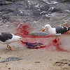 Gulls eating Placenta