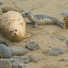 Harbor Seal, Phoca vitulina nursing Pup on beach in Pacific Grove California