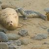Harbor Seal, Phoca vitulina nursing Pup on beach in Pacific Grove California