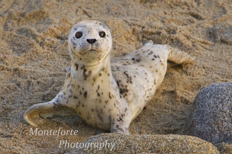 Harbor Seal pup - Phoca vitulina- on Beach in Pacific Grove California