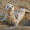 Harbor Seal pup - Phoca vitulina- on Beach in Pacific Grove California