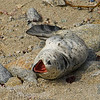 Harbor Seal pup-Phoca vitulina