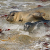 Harbor Seal-Phoca vitulina-with pup coming up to beach caught in surf, Pacific Grove California