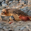 Harbor Seal - Phoca vitulina- Just after giving birth to her pup on beach Pacific Grove, California