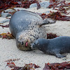 Harbor Seal, Phoca vitulina, with pup on beach in Pacific Grove California.