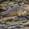 Harbor Seals Phoca vitulina
