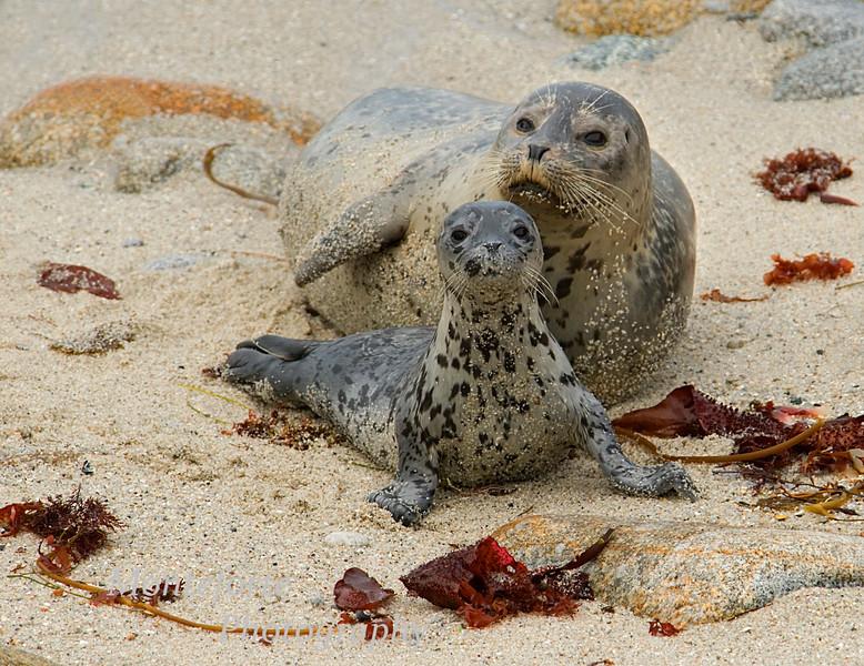 Harbor Seal-Phoca vitulina- with Pup on beach Pacific Grove, California