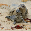 Harbor Seal-Phoca vitulina- with Pup on beach Pacific Grove, California