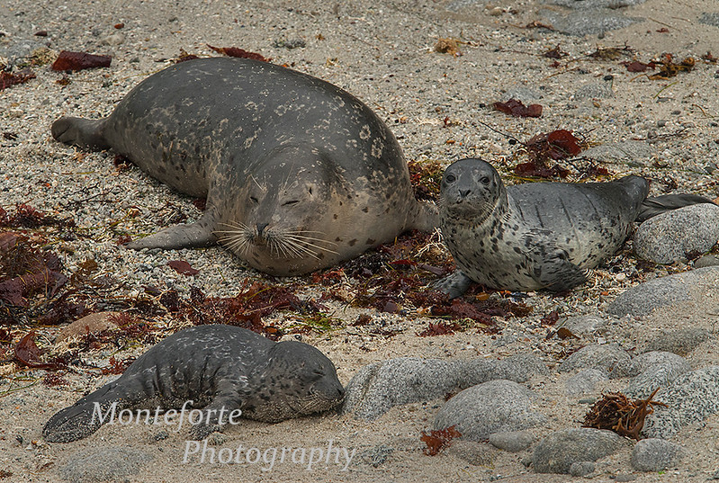 Harbor Seal - Phoca vitulina- with Pup on beach with abandoned pup in forground, Pacific Grove, California