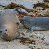 Harbor Seal- Phoca vitulina nursing pup