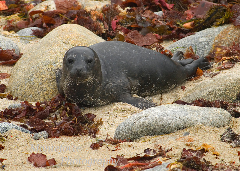 Harbor Seal Pup-Phoca vitulina- on Beach, Pacific Grove California