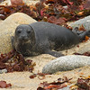 Harbor Seal Pup-Phoca vitulina- on Beach, Pacific Grove California