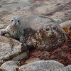 Harbor seal - Phoca vitulina - with pup on beach, Pacific Grove Ca.
