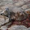 Harbor seal - Phoca vitulina - with pup on beach, Pacific Grove Ca.