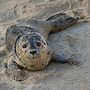Harbor Seal pup Phoca vitulina  on beach in Pacific Grove California