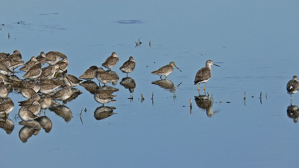 Yellow Legs (Greater & Lesser) and Dunlin