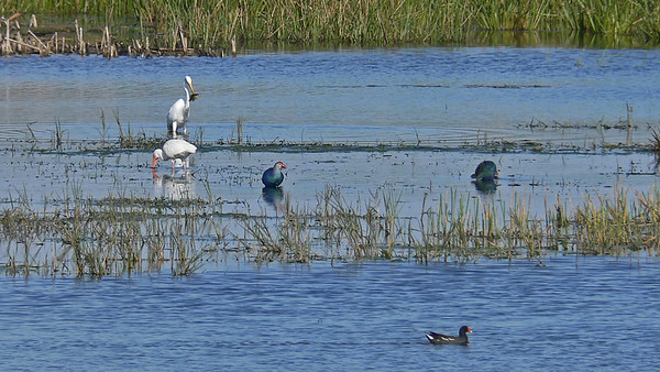 Purple Swamphens, White Ibis, Common Moorhen, and (in the back) Great Egret with lunch