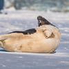 Seal on the beach-057