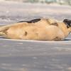 Seal on the beach-015
