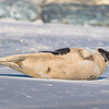 Seal on the beach-038