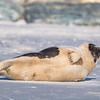 Seal on the beach-049