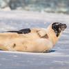 Seal on the beach-040