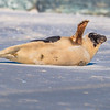 Seal on the beach-030