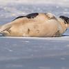 Seal on the beach-060