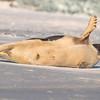 Seal on the beach-010