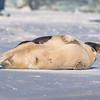 Seal on the beach-052
