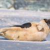 Seal on the beach-046