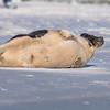 Seal on the beach-058
