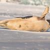 Seal on the beach-009