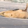 Seal on the beach-011