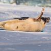 Seal on the beach-032