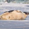 Seal on the beach-051