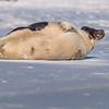 Seal on the beach-061