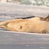 Seal on the beach-014