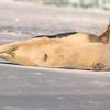 Seal on the beach-013