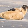 Seal on the beach-001