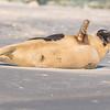 Seal on the beach-025