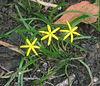 Yellow Stargrass or Common Goldstar(Hypoxis hirsuta)