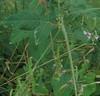 Hoary Tick Trefoil (Desmodium canescens)