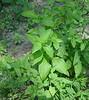 Rustling/Smooth WIld Petunia (Ruellia strepens) west of bridge