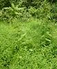 Invasives:  Stilt Grass (around Figwort) and Ailanthus