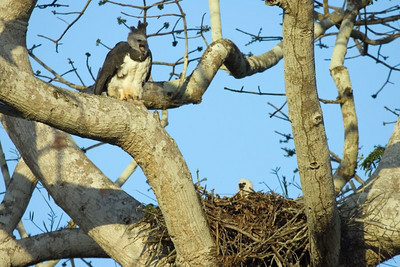 Harpy Eagle at nest with chick
