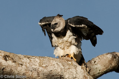 Harpy Eagle in Venezuela