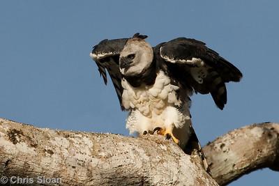 Harpy Eagle in Rio Grande, Venezuela (1-13-07)