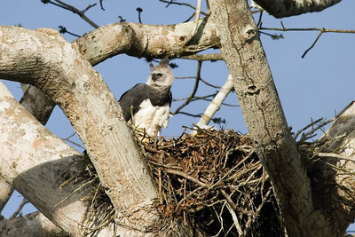 Harpy Eagle at nest