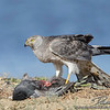 Grey Ghost-Northern Harrier